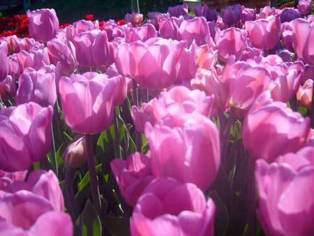 Оптом тюльпаны купить в москве